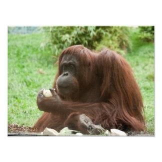 Consumición del orangután fotografía