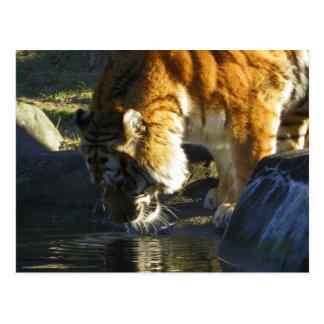 Consumición del tigre siberiano postal
