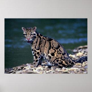 Contacto nublado del Leopardo-ojo Póster