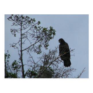 Contemplative Eagle Postcard