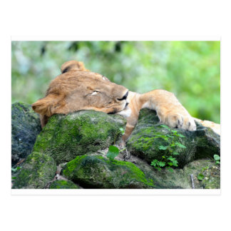 Contended Sleeping Lion Postcard
