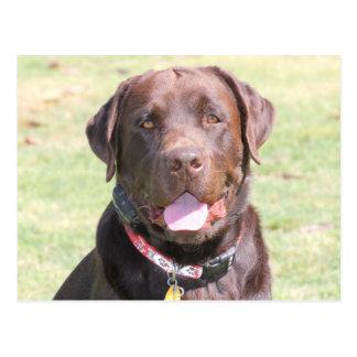 Content Brown Dog Postcard