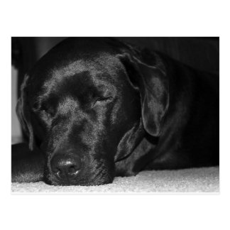 Content, sleeping black labrador postcard