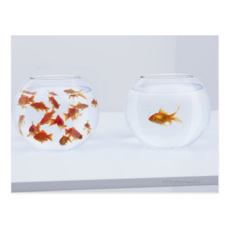 Contrast of  many goldfish in fishbowl and postcard