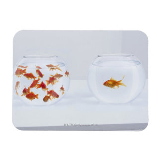 Contrast of  many goldfish in fishbowl and rectangle magnet