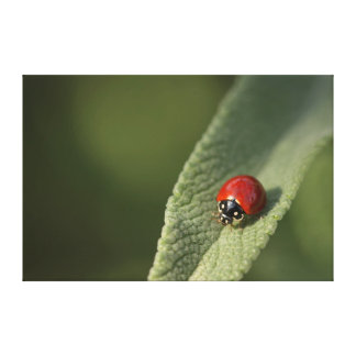 Convergent ladybird beetle on Cleveland sage Canvas Print