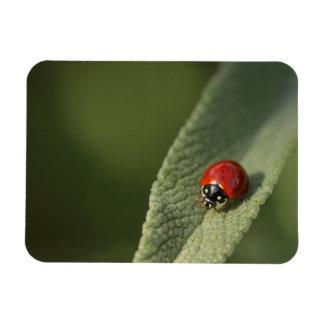Convergent ladybird beetle on Cleveland sage Magnet