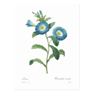 Convolvulus tricolor postcard