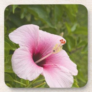 Cook Islands, Atiu. Hibiscus flower. Coaster