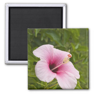 Cook Islands, Atiu. Hibiscus flower. Magnet
