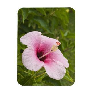 Cook Islands, Atiu. Hibiscus flower. Magnet