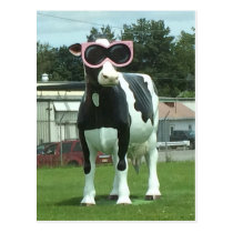 cool cow 1 postcard