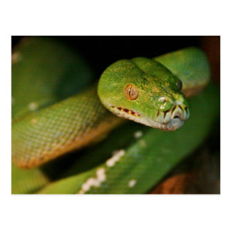 Cool Green Tree Boa Postcard