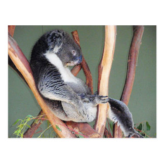 Cool Koala Postcard