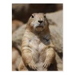 Cool Prairie Dog Postcard