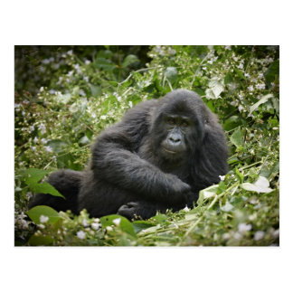 cool young mountain gorilla post cards
