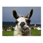 Coolest Llama Postcard