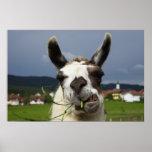Coolest Llama Poster