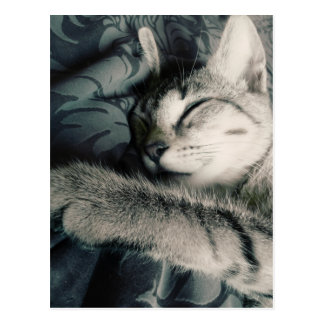 Coon_Cat - Postacrd Postcard