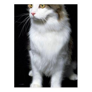 Coon Cat Postcard