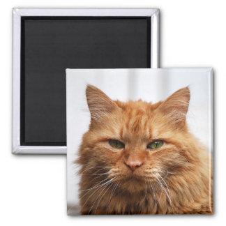 Coon de Maine, imán noruego del gato del bosque