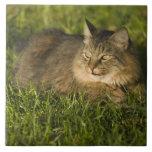 Coon de Maine (la raza más grande de gatos naciona Azulejo Cuadrado Grande