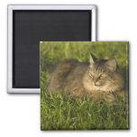 Coon de Maine (la raza más grande de gatos naciona Imanes Para Frigoríficos