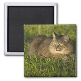 Coon de Maine (la raza más grande de gatos naciona Imán Cuadrado