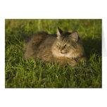 Coon de Maine (la raza más grande de gatos naciona Tarjeta De Felicitación