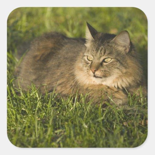 Coon de Maine (la raza más grande de gatos Pegatina Cuadrada