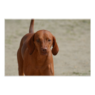Coonhound Poster