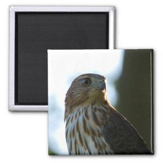 Cooper's Hawk 2 Inch Square Magnet
