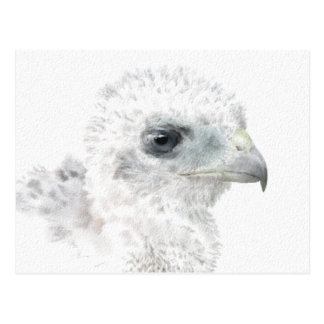 Coopers Hawk Chick Postcard
