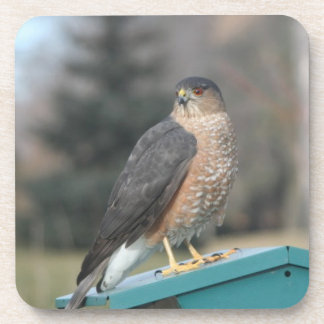 Coopers Hawk Coaster