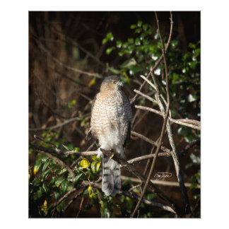 Coopers Hawk In the Morning Sunshine Photo Art