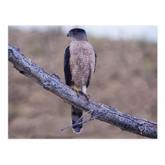 Cooper's Hawk Post Cards