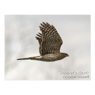 Cooper's Hawk Postcard