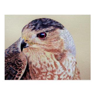 Coopers Hawk Postcards