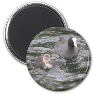 Coot and Chick Magnet