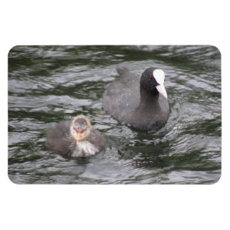 Coot and Chick Premium Magnet