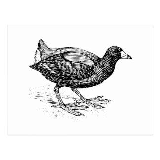 Coot Bird Illustration Postcard