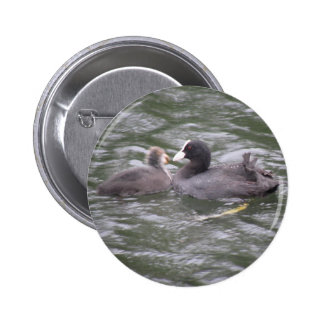 Coot Feeding Hungry Chick Button