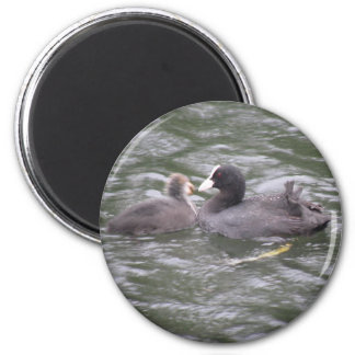 Coot Feeding Hungry Chick Magnet