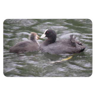 Coot Feeding Hungry Chick Premium Magnet