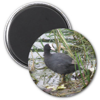 Coot on the Riverbank Magnet