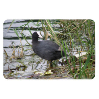 Coot on the Riverbank Premium Magnet