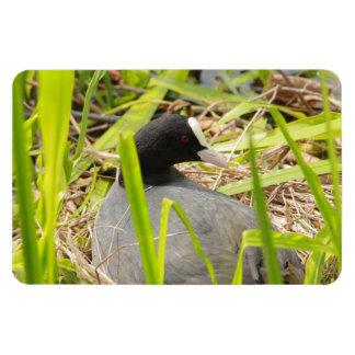 coot sitting on the nest vinyl magnet