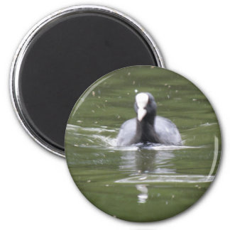 Coot Swimming Magnet