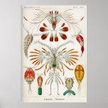Copepoda (crustaceans) posters