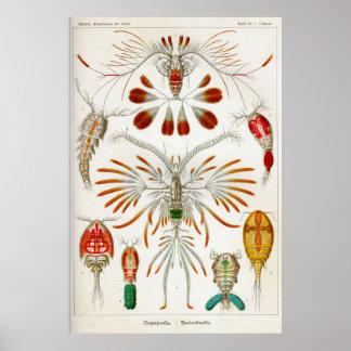 Copepoda (crustáceos) póster